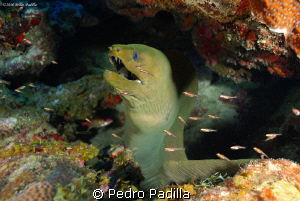 Green Moray sharing his cave with Glass Gobbys.